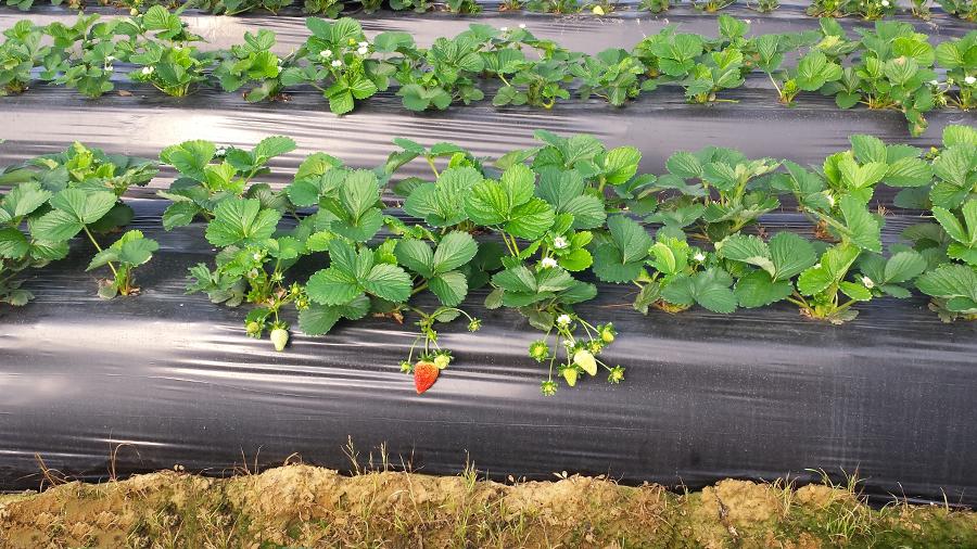 ¡Recolectamos las primeras fresas de la temporada!