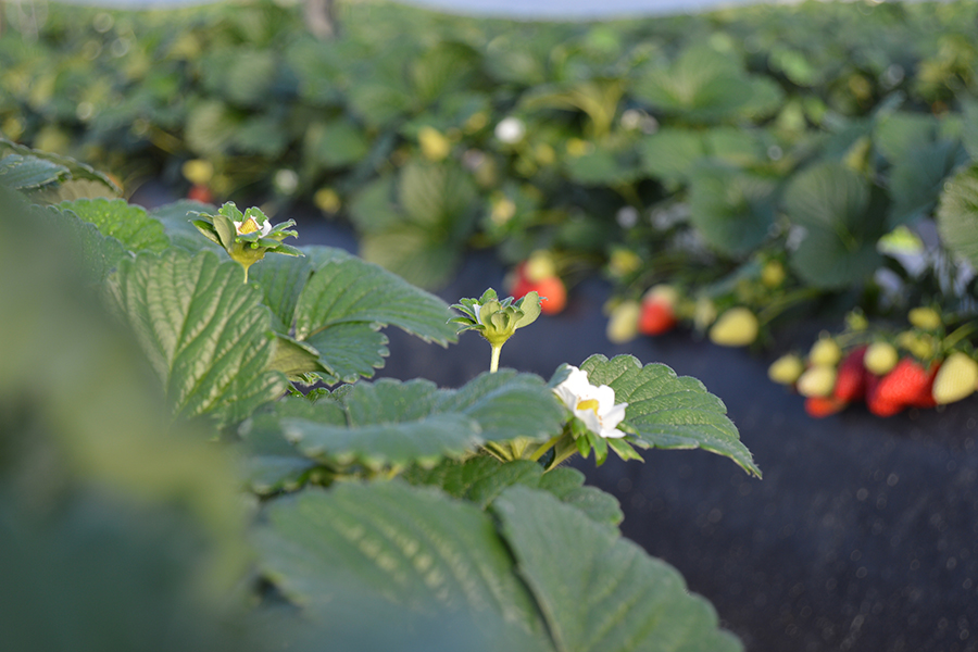 Grufesa incorpora ozono al agua de riego para obtener fruta con la máxima calidad