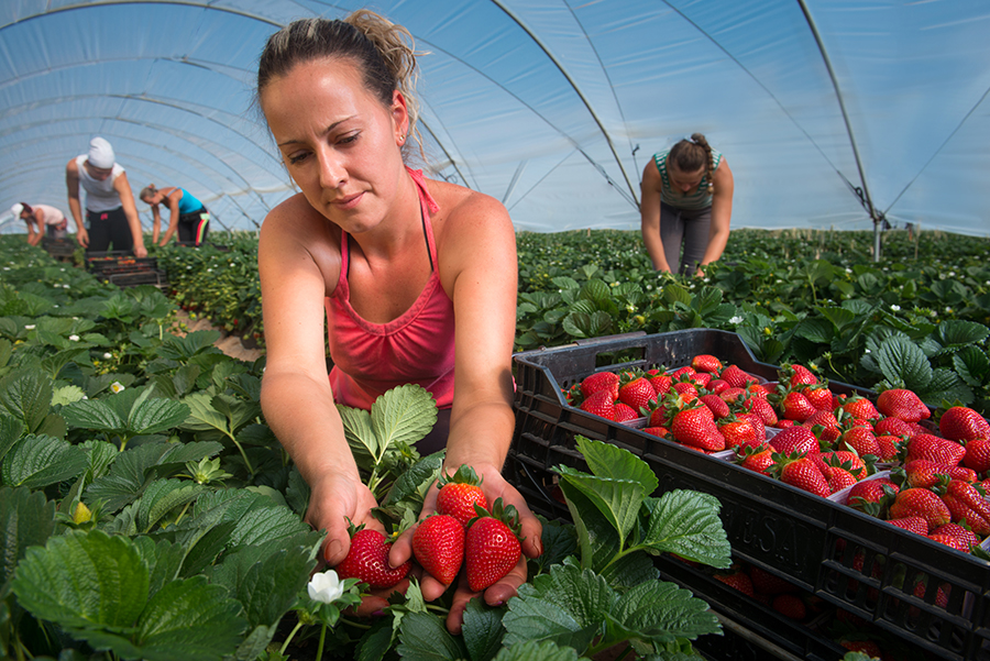 Grufesa ends season with increased strawberry sales