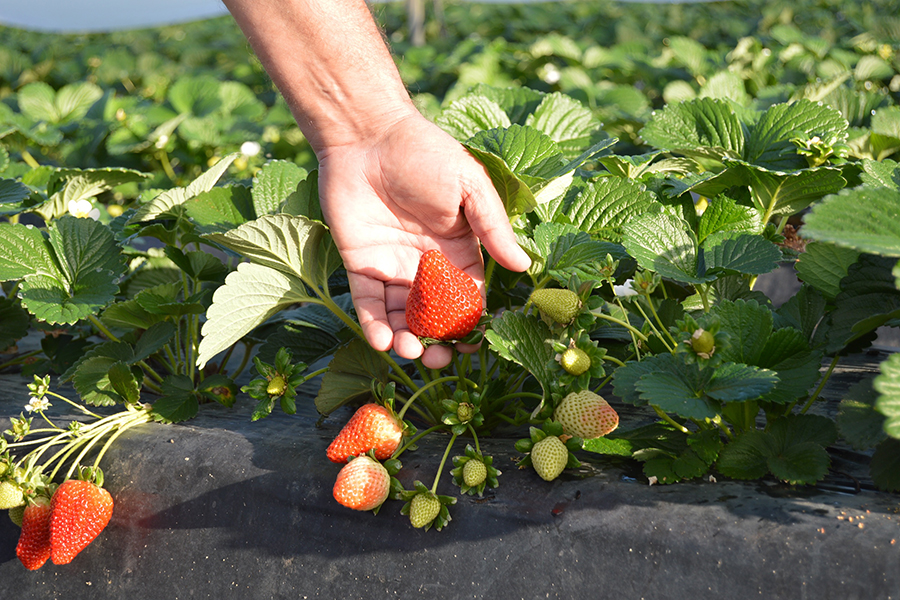 Grufesa manages to save 20 % of water to produce efficiently a more sustainable strawberry