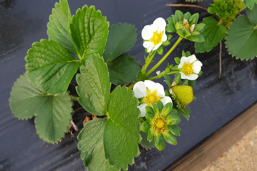 Flowering announces arrival of first strawberries