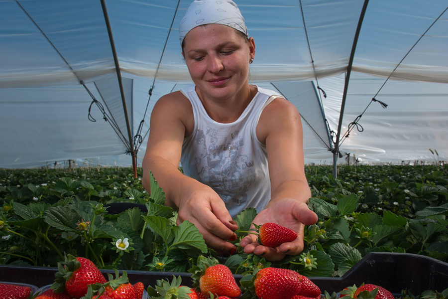 Grufesa ends another successful strawberry season slightly down on sales volume but up on turnover