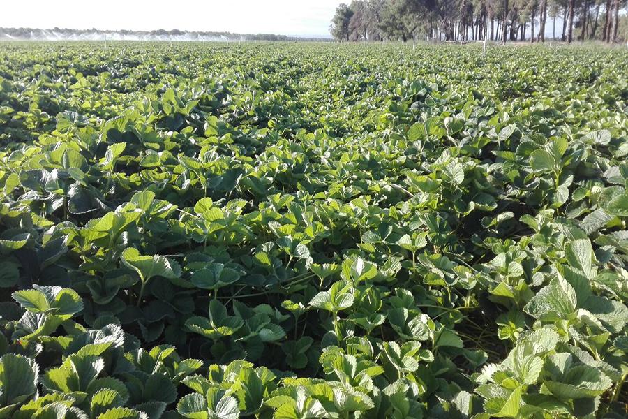 Grufesa comienza la próxima semana en Ávila la recogida de las primeras plantas para su posterior siembra en Moguer