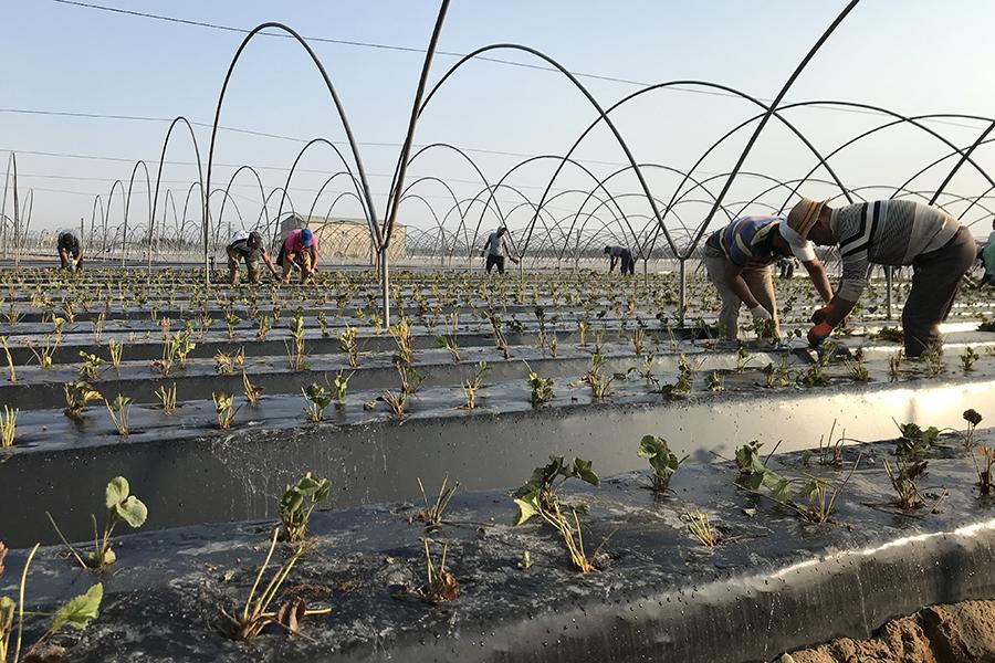 Grufesa te muestra el proceso de plantación de la fresa en Moguer