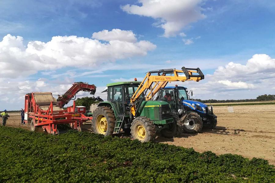 La fase de recogida y selección de plantas de fresa en los viveros de Ávila de Grufesa supera el ecuador