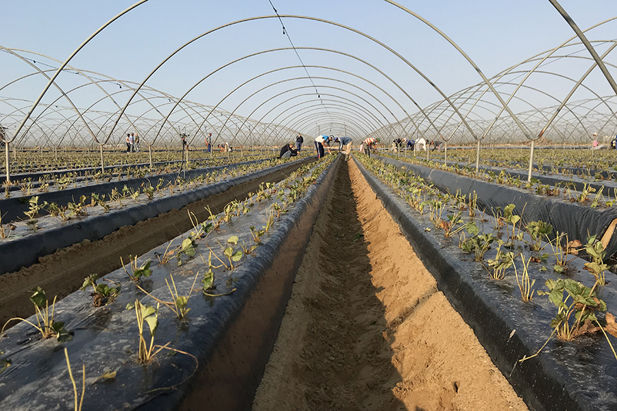 Grufesa starts a new campaign with the planting in Moguer of the first strawberries plants