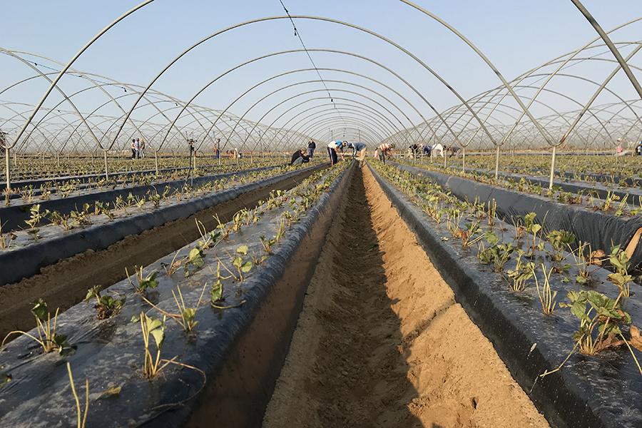 Grufesa arranca una nueva campaña con la siembra en Moguer de las primeras plantas de fresas procedentes de sus viveros de Ávila